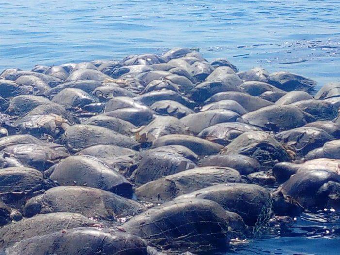 Más de cien tortugas mueren atoradas en una red en Oaxaca