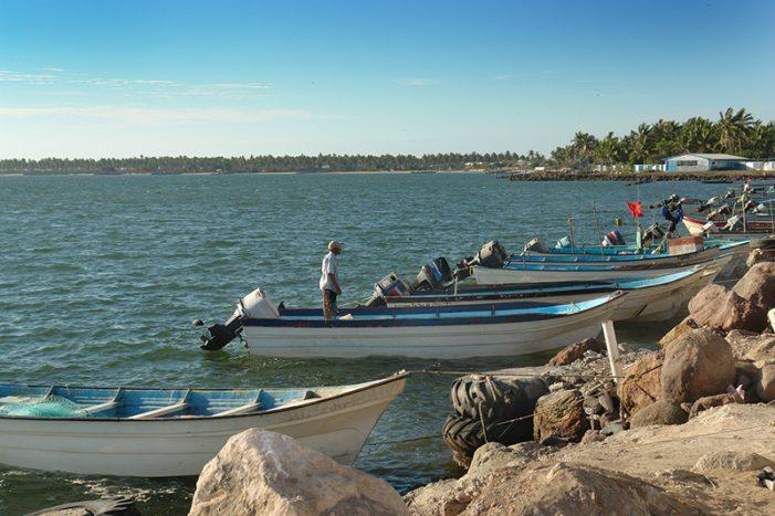El 11, levantan la veda de camarón en Sinaloa