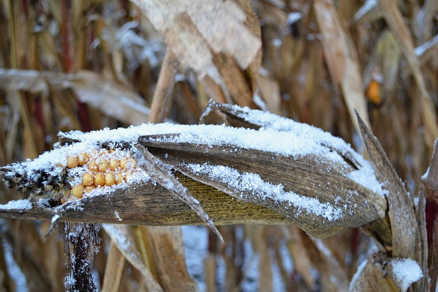Recomienda proteger cultivos ante frío con riegos y no quemar llantas