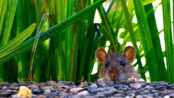 Se extingue el primer mamífero a causa del cambio climático