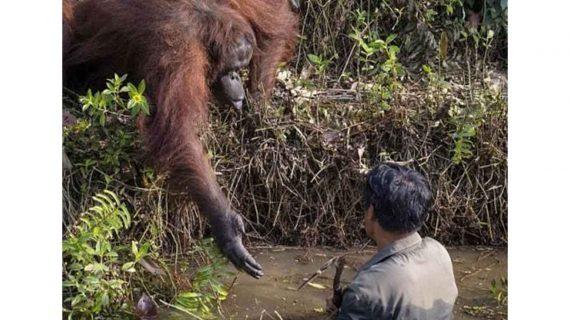 Orangután ofrece su mano para salvar a hombre en un río